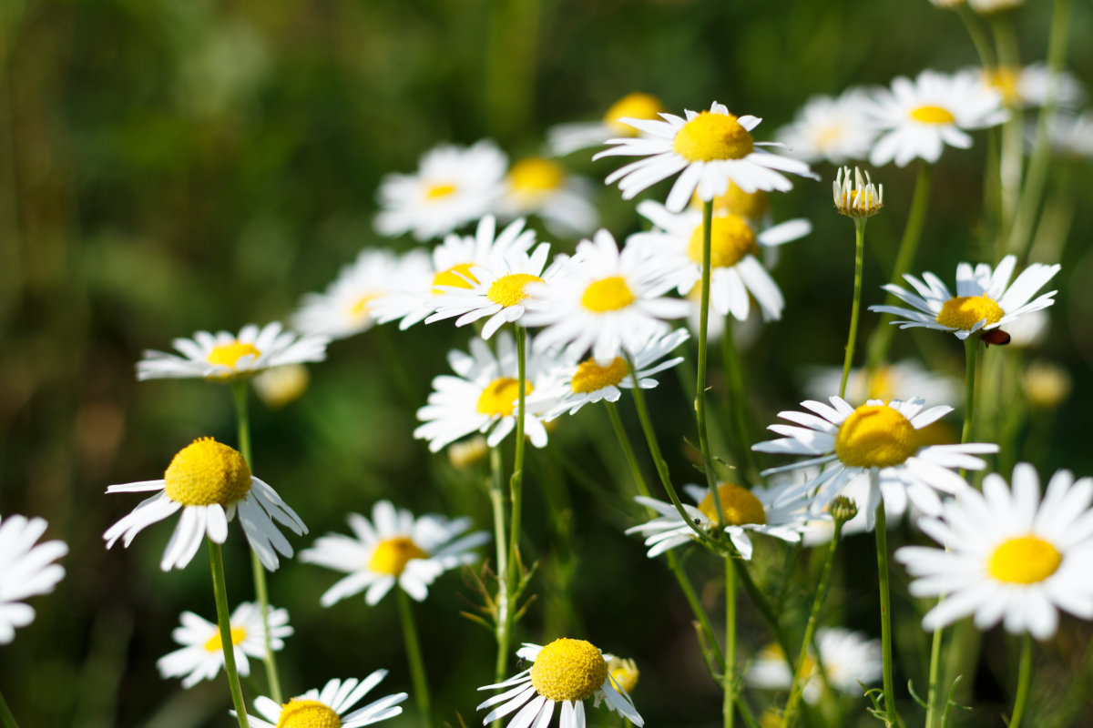 100% Pure Natural Chamomile Roman Hydrosol (Floral Water)