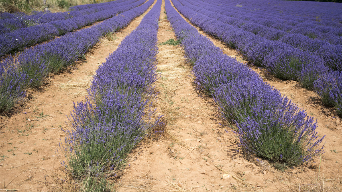 Huocheng Lavender Growing Base
